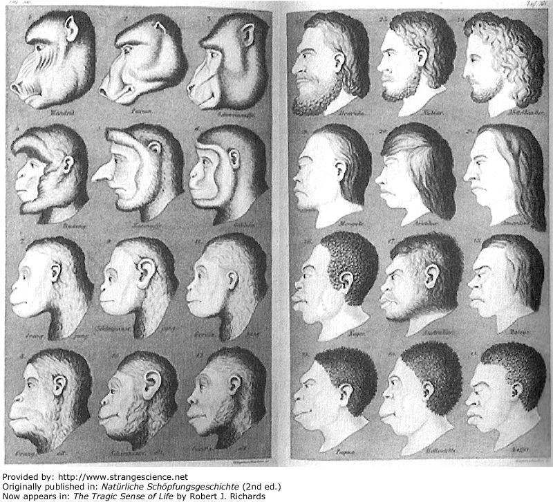 """''""""Pictures of Evolution and Charges of Fraud"""" by Nick Hopwood in Isis June 2006 issue Reminiscent of Charles White's 1799 diagram, this illustration pointed out the affinity between the """"lowest humans"""" and """"highest apes."""" The heads pictured here were supposed to represent — from best to worst, so to speak — Indo-German, Chinese, Fuegian, Australian Negro, African Negro, Tasmanian, gorilla, chimpanzee, orang, gibbon, proboscis monkey, and mandrill. An interesting shift from White's diagram was that the best of the best was no longer Grecian but German. In fairness to Haeckel, he didn't like this illustration much (his publisher apparently did), but an expanded version appeared in the second edition of his book. Haeckel was, to say the least, confident of the superiority of the white race, as were many of his contemporaries. But at least one scientist, Michael Foster described the illustration in Haeckel's second book as """"at once absurdly horrible and theatrically grotesque, without any redeeming feature either artistic or scientific."""""""